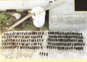 Photo of mice caught in one night on Mana Island using a simple bucket trap.
